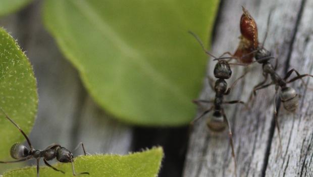 Ameisen tragen Last