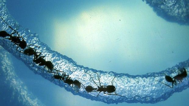 Ameisen im Wasserstrahl