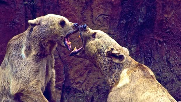 Zwei Bären Kampf