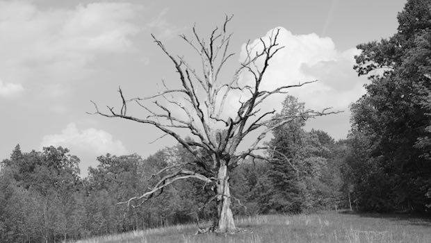 Abgestorbener Baum auf Hügel vor Wald