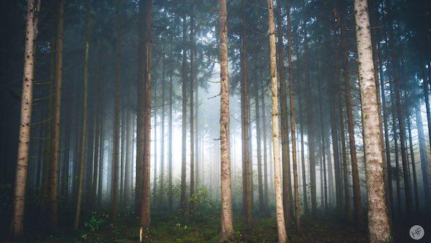 Birkenwald schmale Stämme