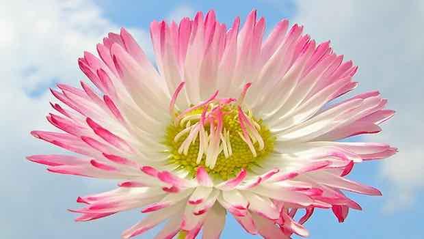 Blume rosa weiß Himmel