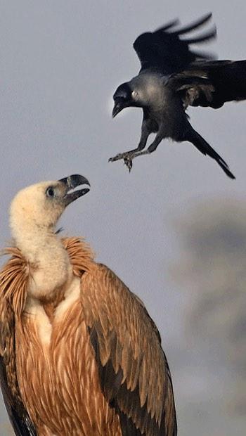 Geier und Krähe, Angriff