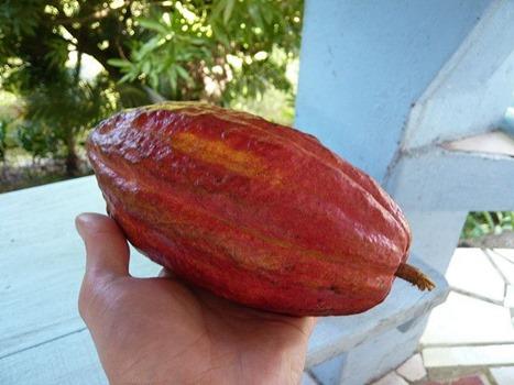Kakaoschote in Hand