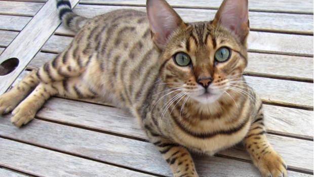 Katze auf Holzbrett