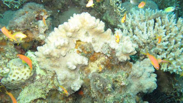 sterbendes Korallenriff