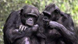 zwei Schimpansen