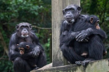 Schimpansen mit Jungtier im Zoo