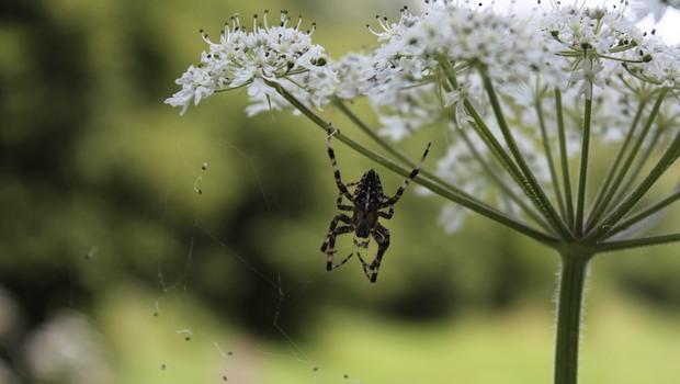 Spinne an einer Blume
