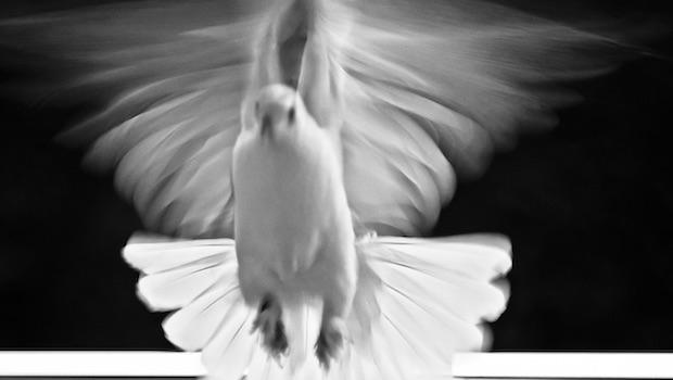 Taube Flug