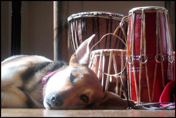 liegender Hund mit großen Ohren vor Trommeln