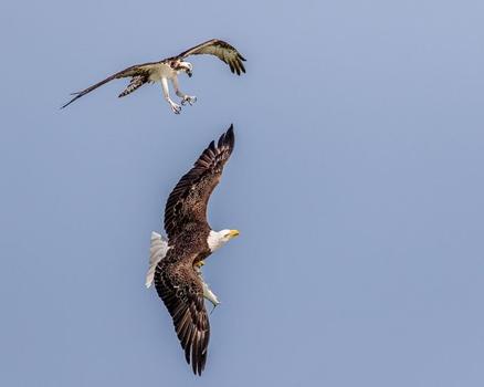 zwei Vögel im Luftkampf im Fisch