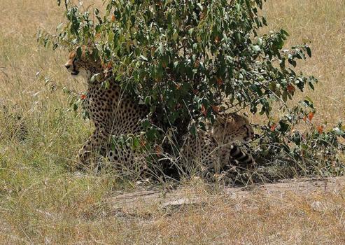 zwei Geparde unter einem Busch